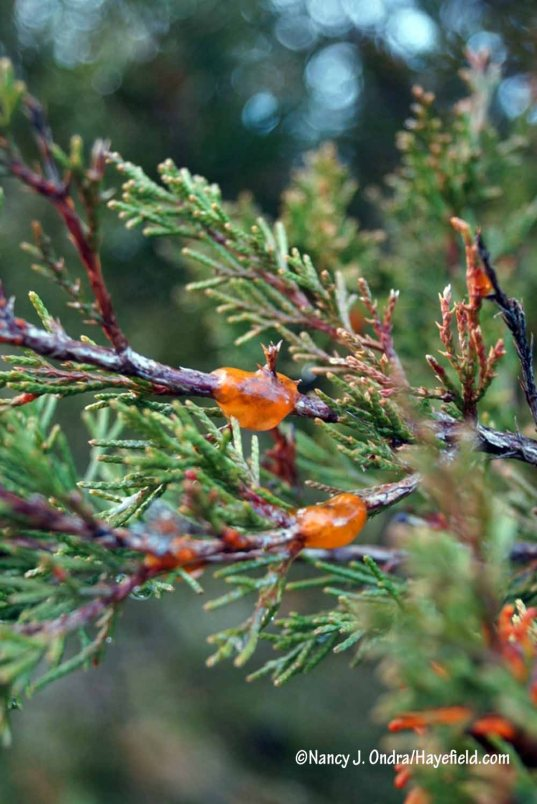 When I was taking pictures of cedar-apple rust galls back in April, I also saw this orangey gloop. I figured it was just another symptom of that fungus, but when I was researching cedar-quince rust (Gymnosporangium clavipes), I discovered that this is what cedar-quince looks like on cedar (Juniperus virginiana). [Nancy J. Ondra/Hayefield.com]