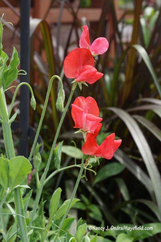 The mixed sweet peas (Lathyrus odoratus) are finally in flower [Nancy J. Ondra/Hayefield.com]