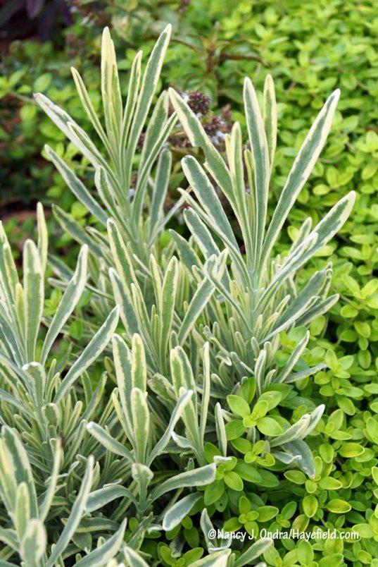 Platinum Blonde English lavender (Lavandula angustifolia 'Momparler') with 'Clear Gold' thyme (Thymus) [Nancy J. Ondra/Hayefield.com]