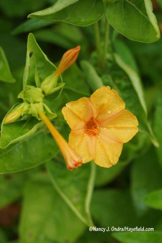 'Orange Crush' four-o'clock (Mirabilis jalapa) [Nancy J. Ondra/Hayefield.com]