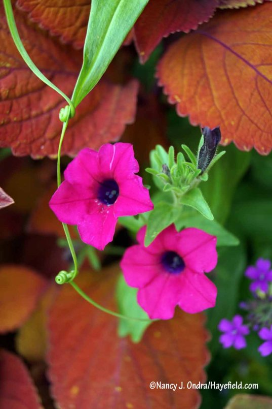 This petunia started out years ago as 'Blanket Zinfandel', in the large container by the barn door. It produces a few seedlings each year, in varying shades of magenta. The green tendrils near the blooms are the linked leaf tips of gloriosa lily (Gloriosa superba). [Nancy J. Ondra/Hayefield.com]