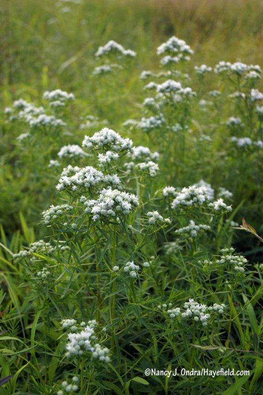 Narrowleaf mountain mint (Pycnanthemum tenuifolium) [Nancy J. Ondra/Hayefield.com]