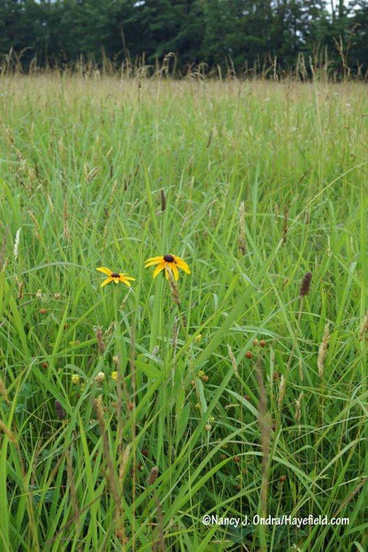Black-eyed Susan (Rudbeckia hirta) [Nancy J. Ondra/Hayefield.com]