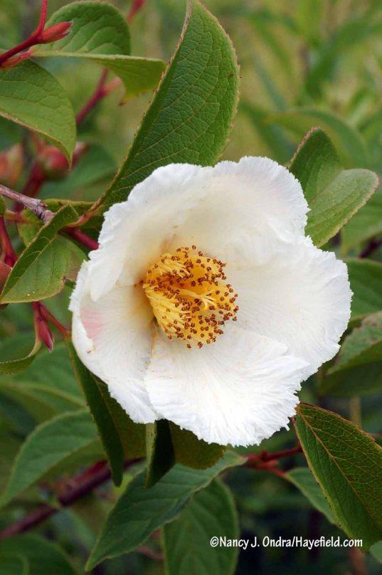 Japanese stewartia (Stewartia pseudocamellia) [Nancy J. Ondra/Hayefield.com]
