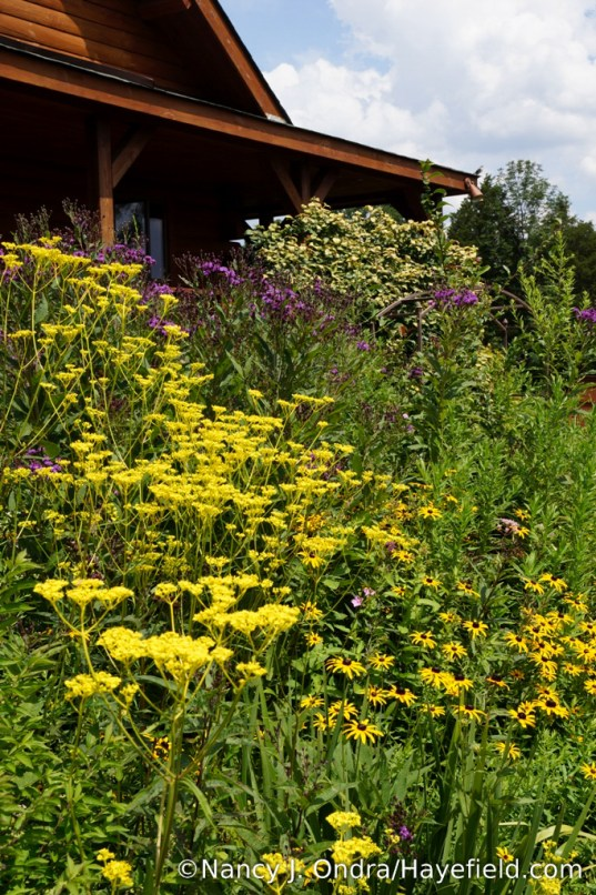 Golden lace (Patrinia scabiosifolia), New York ironweed (Vernonia noveboracensis), and orange coneflower (Rudbeckia fulgida var. fulgida) [Nancy J. Ondra/Hayefield.com]