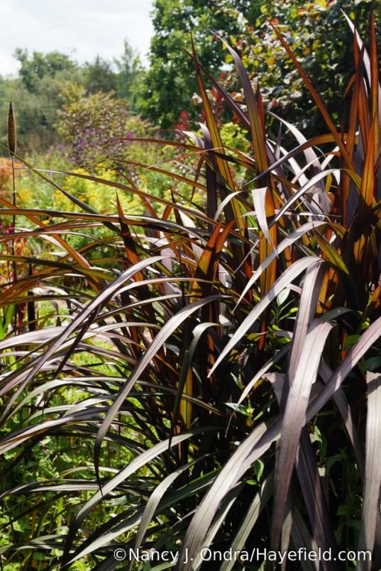 Vertigo fountain grass (Pennisetum purpureum 'Tift 8') [Nancy J. Ondra/Hayefield.com]
