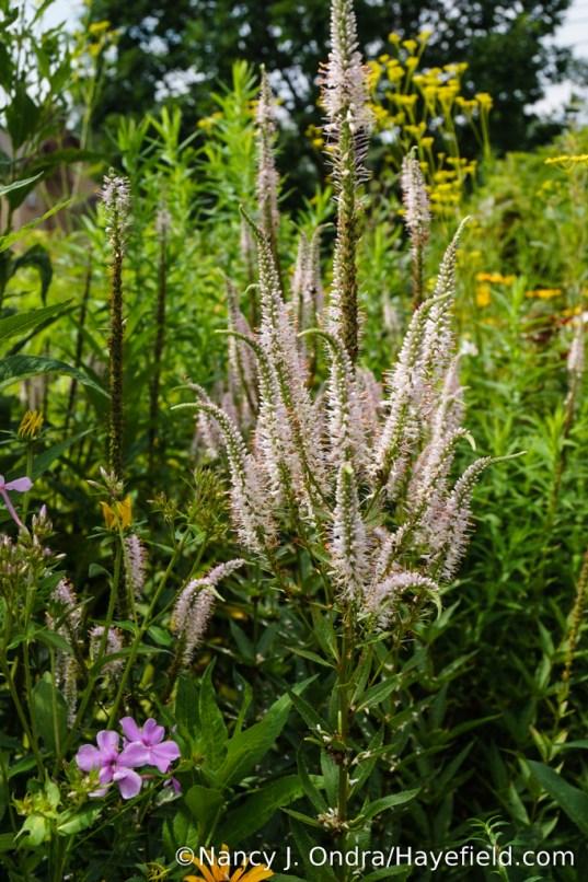 'Erica' Culver's root (Veronicastrum virginicum) [Nancy J. Ondra/Hayefield.com]