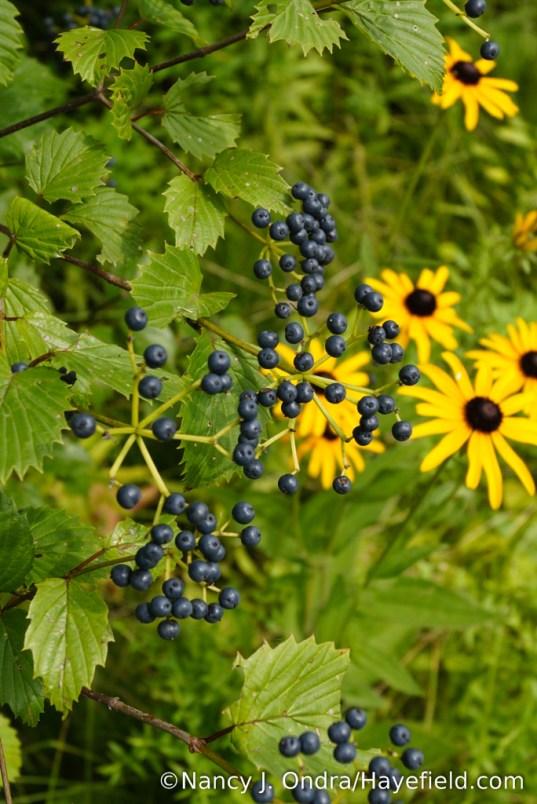 Blue Muffin arrowwood viburnum (Viburnum dentatum 'Christom') [Nancy J. Ondra/Hayefield.com]