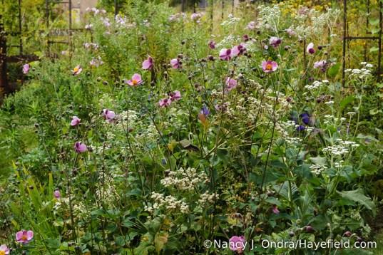 'September Charm' Japanese anemone (Anemone x hybrida) with wild quinine (Parthenium integrifolium) [Nancy J. Ondra/Hayefield.com]