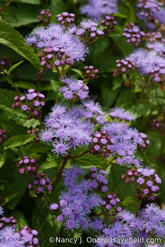 'Cori' hardy ageratum (Conoclinium coelestinum) [Nancy J. Ondra/Hayefield.com]