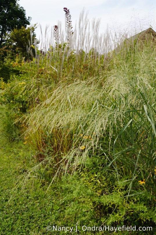 Bitter panicgrass (Panicum amarum) [Nancy J. Ondra/Hayefield.com]
