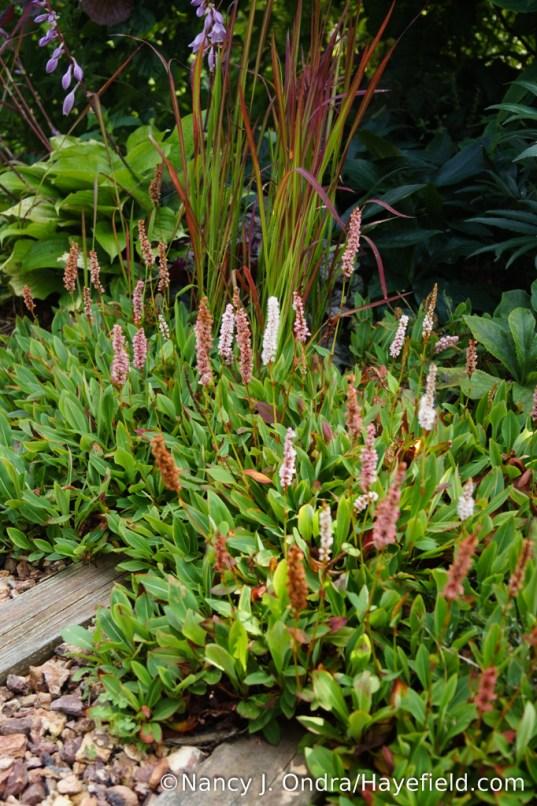 Dwarf fleeceflower (Persicaria affinis) [Nancy J. Ondra/Hayefield.com]