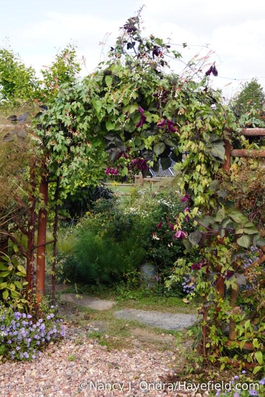 Spanish flag (Mina lobata) and hyacinth bean (Lablab purpureus) on the courtyard arbor [Nancy J. Ondra/Hayefield.com]