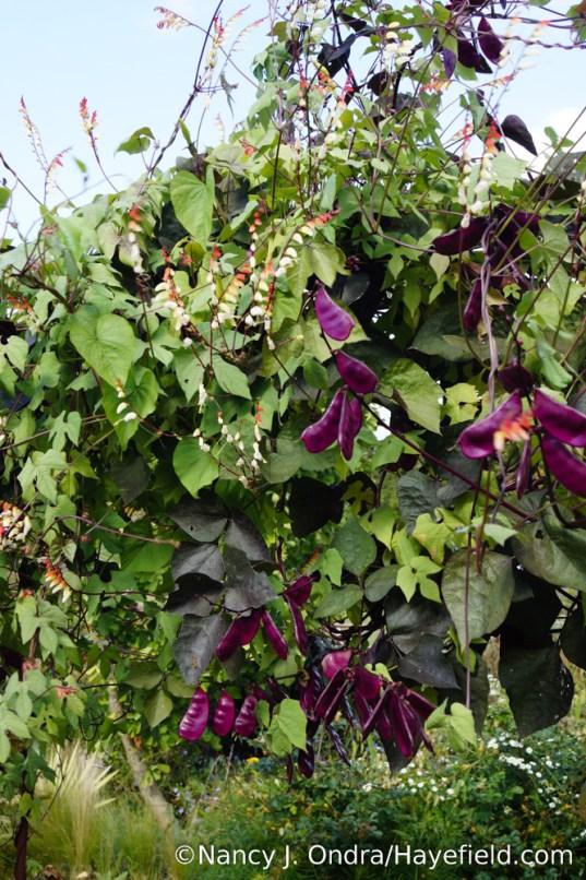 Spanish flag (Mina lobata) and hyacinth bean (Lablab purpureus) [Nancy J. Ondra/Hayefield.com]