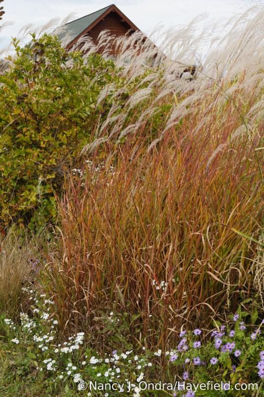 Flame grass (Miscanthus 'Purpurascens') [Nancy J. Ondra/Hayefield.com]