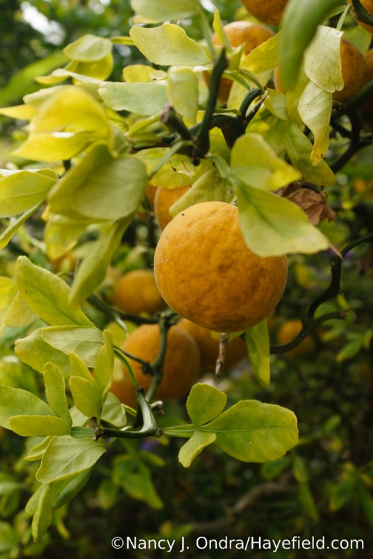 'Flying Dragon' hardy orange (Poncirus trifoliata) [Nancy J. Ondra/Hayefield.com]