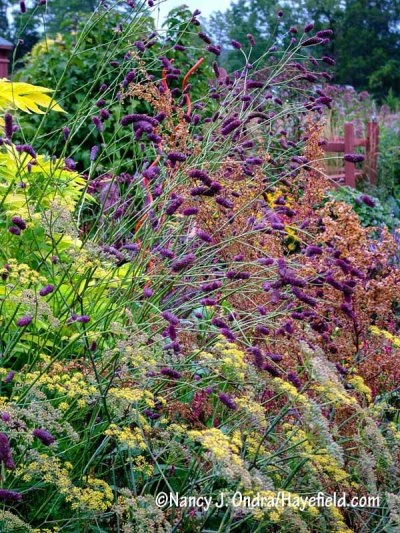 Purple Japanese burnet (Sanguisorba tenuifolia var. purpurea) and the flowers of bronze fennel (Foeniculum vulgare 'Purpureum') against golden elderberry (Sambucus nigra 'Aurea') and the seedheads of red orach (Atriplex hortensis var. rubra) [Nancy J. Ondra/hayefield.com/nancyjondra.com]