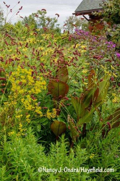 Purple Japanese burnet (Sanguisorba tenuifolia var. purpurea) with golden lace (Patrinia scabiosifolia), Canna indica 'Purpurea', 'Henry Eilers' sweet coneflower (Rudbeckia subtomentosa), and New York ironweed (Vernonia noveboracensis) [Nancy J. Ondra/hayefield.com/nancyjondra.com]