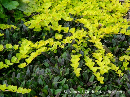A combination of two perennial groundcovers with colorful, contrasting foliage (leaves): golden creeping Jenny (Lysimachia nummularia 'Aurea') and Chocolate Chip bugleweed (Ajuga reptans 'Valfredda') [Nancy J. Ondra/nancyjondra.com]