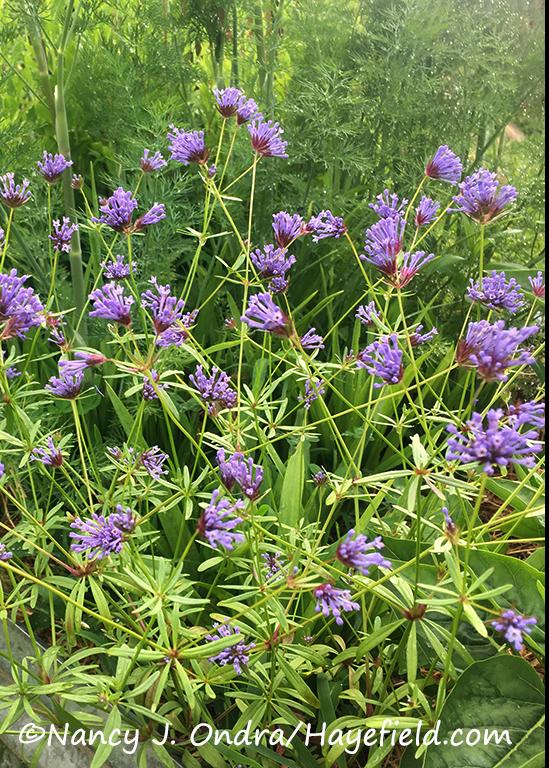 Asperula orientalis [©Nancy J. Ondra/Hayefield.com]
