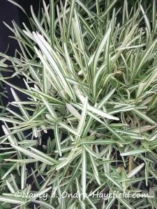 Stenotaphrum secundatum 'Variegatum' [Nancy J. Ondra/Hayefield.com]