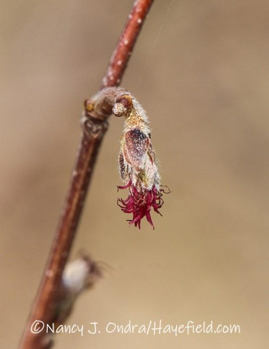 Corylus americana [©Nancy J. Ondra/Hayefield.com]