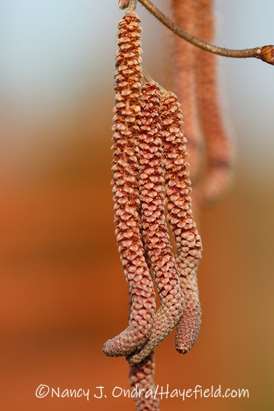 Corylus avellana 'Red Majestic' [©Nancy J. Ondra/Hayefield.com]