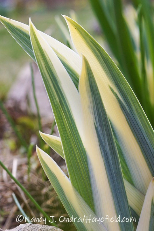 Iris pallida 'Argentea Variegata' [©Nancy J. Ondra/Hayefield.com]