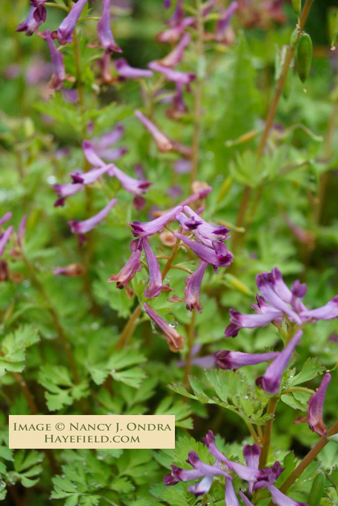 Corydalis solida (Spring Fumewort)