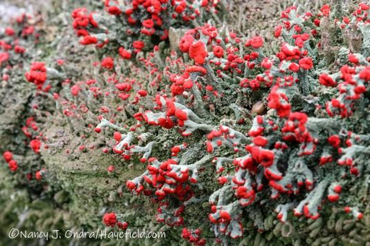 Cladonia cristatella [©Nancy J. Ondra/Hayefield.com]