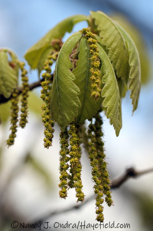 Quercus dentata [©Nancy J. Ondra/Hayefield.com]