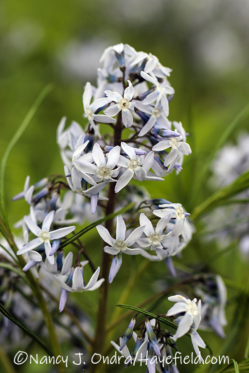 Amsonia hubrichtii [©Nancy J. Ondra/Hayefield.com]