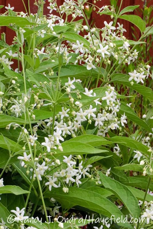 Vincetoxicum acuminatum [©Nancy J. Ondra/Hayefield.com]