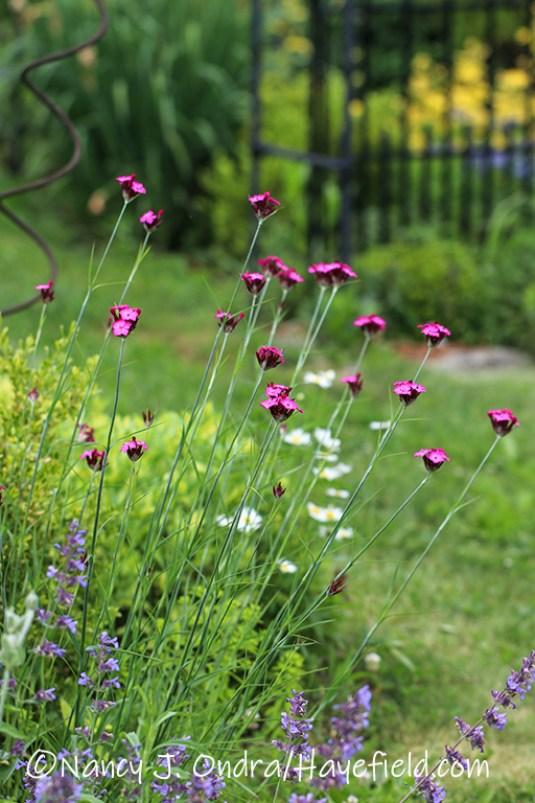 Dianthus carthusianorum [©Nancy J. Ondra/Hayefield.com]