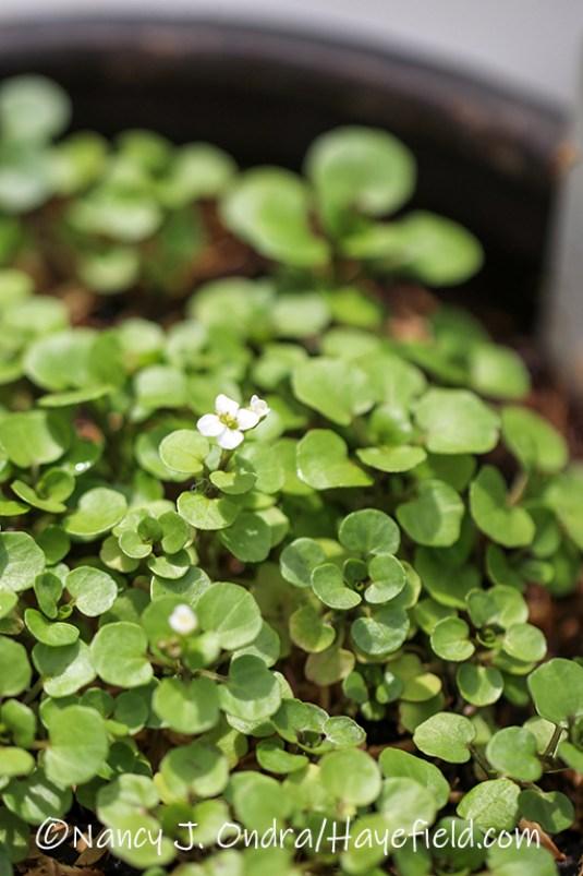 Nasturtium officinale [©Nancy J. Ondra/Hayefield.com]