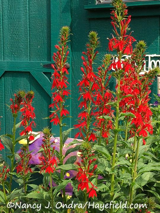 Lobelia cardinalis [Nancy J. Ondra/Hayefield.com]