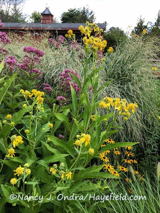 Verbesina alternifolia [Nancy J. Ondra/Hayefield.com]