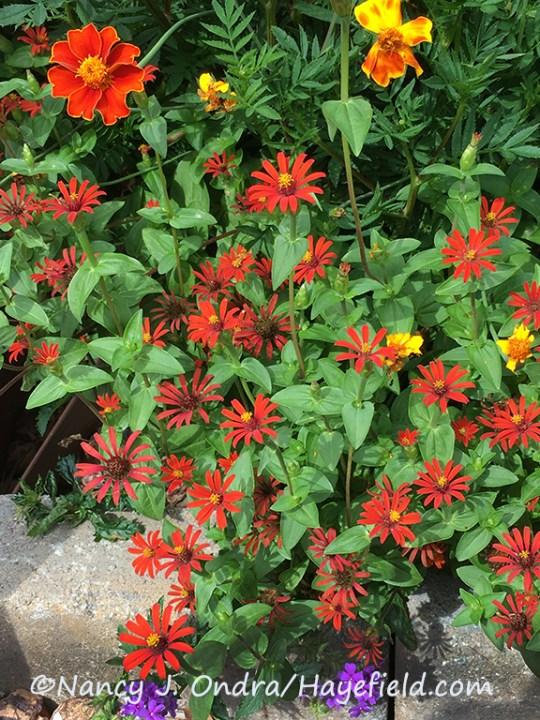 Zinnia tenuifolia 'Red Spider' [Nancy J. Ondra/Hayefield.com]
