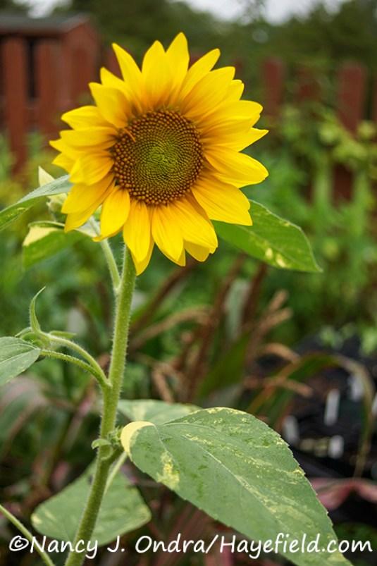 Helianthus annuus 'Sunspots'