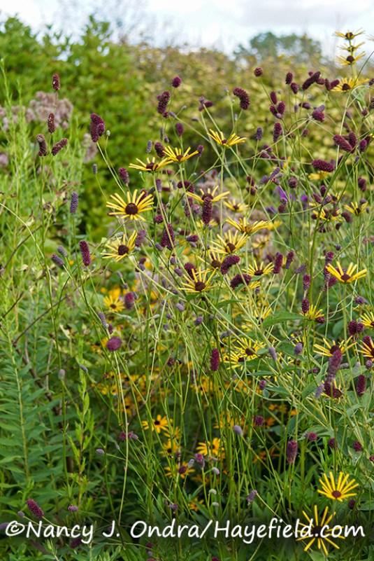 Rudbeckia subtomentosa 'Henry Eilers' and Sanguisorba tenuifolia 'Purpurea'