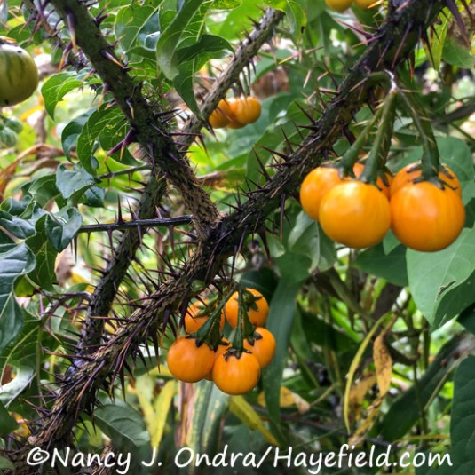 Solanum atropurpureum [Nancy J. Ondra/Hayefield.com]