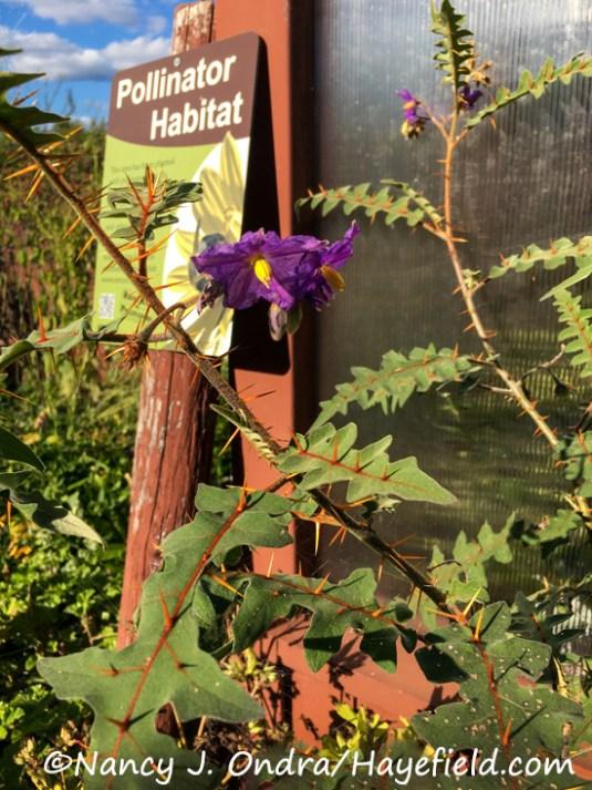 Solanum pyracanthum (s. pyracanthos) [Nancy J. Ondra/Hayefield.com]