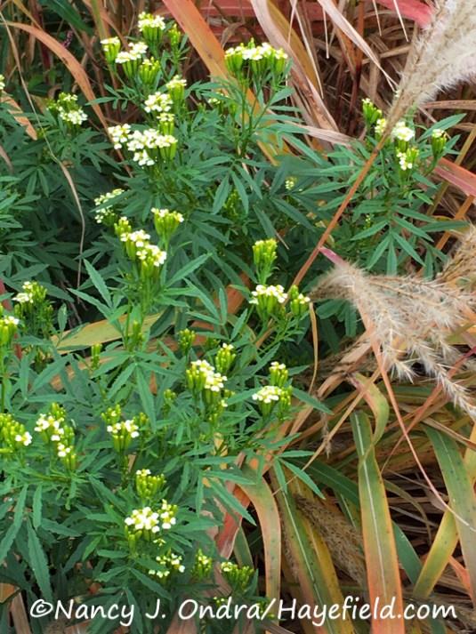 Tagetes minuta Colchicum autumnale 'Alboplenum'