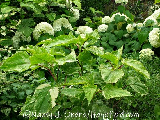 Persicaria orientalis 'Shiro-gane Nishiki' [Nancy J. Ondra/Hayefield.com]