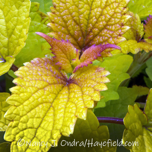 Agastache foeniculum 'Golden Jubilee' [©Nancy J. Ondra/Hayefield.com]