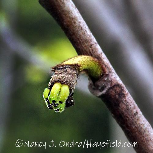 Asimina triloba developing fruits [©Nancy J. Ondra/Hayefield.com]