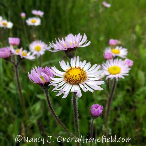 Erigeron pulchellus [©Nancy J. Ondra/Hayefield.com]
