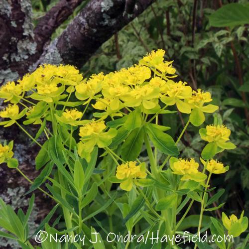Euphorbia palustris [©Nancy J. Ondra/Hayefield.com]