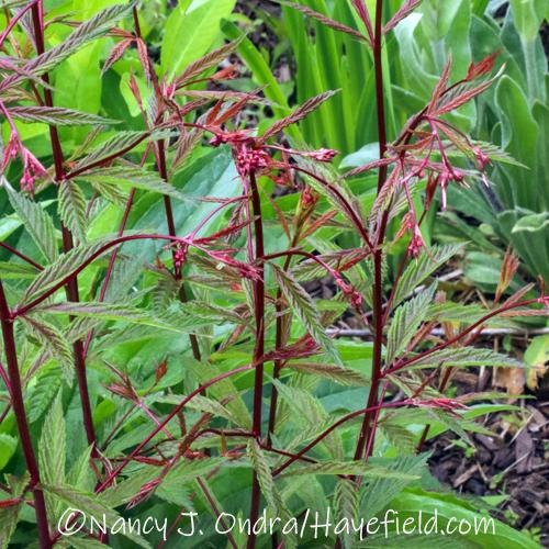 Gillenia trifoliata [©Nancy J. Ondra/Hayefield.com]