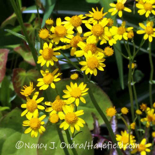 Packera aurea [©Nancy J. Ondra/Hayefield.com]